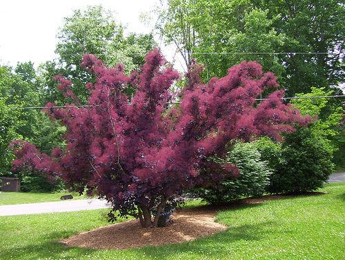 又名红叶树,烟树,是漆树科黄栌属的落叶灌木或乔木植物.花开时.