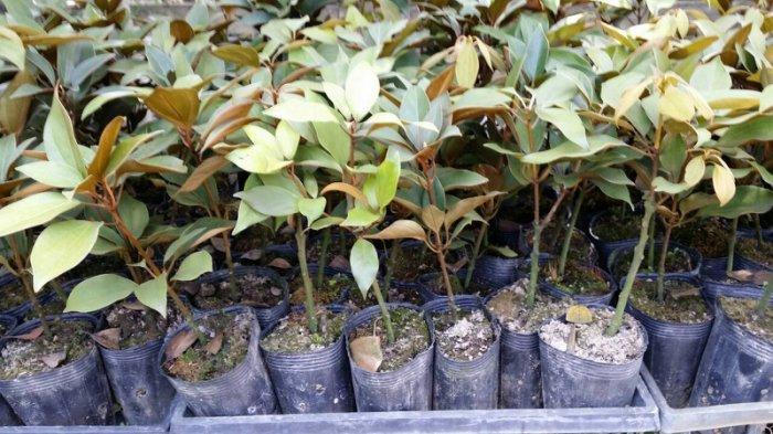 金新木姜子.佛光树.七宝树-黑袋高50-60cm400元